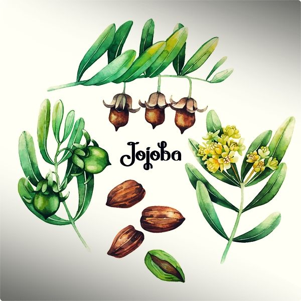 Jojoba oil is among the most used 100 % natural ingredients in lotions and moisturizers.